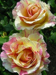 "Rosa ""Claude Monet"" - Delbard - 1982"