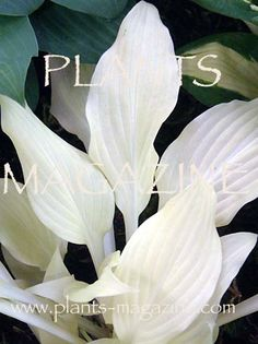Hosta 'White Feather' -