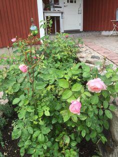 The Alnwick Rose in our garden. Jennysvitavillervalla.blogspot.se