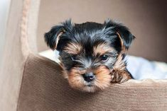 Yorkie's First Year: Training Timeline For a Yorkshire Terrier Puppy – American Kennel Club Puppy Obedience Training, Basic Dog Training, Training Dogs, Yorkies, Yorkie Dogs, Yorkshire Terrier Puppies, Teacup Yorkshire Terrier, Positive Dog Training, Teacup Yorkie