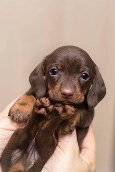 Dachshund Puppies, Dachshund Love, Cute Dogs And Puppies, Baby Dogs, Cute Puppy Breeds, Cutest Dogs, Daschund, Doggies, Super Cute Animals