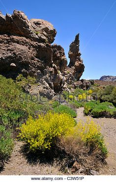 Lava rocks and shrub yellow flowers (Descurainia Bourgeauana) in foreground, at…