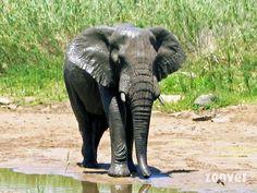 Éléphant _ Afrique du Sud - Kwazulu Natal - Sainte Lucie
