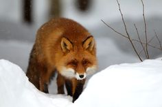 winter-snow-red-fox-wall-inkbluesky