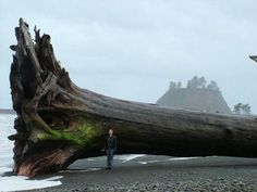 In a part of the country accustomed to towering trees, a massive piece of driftwood washed ashore recently in La Push, a small community on the ...