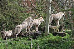 Gray Wolf - Woodland Park Zoo Seattle WA