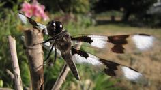dragonfly.. thankfully they arent firebreathing!:P