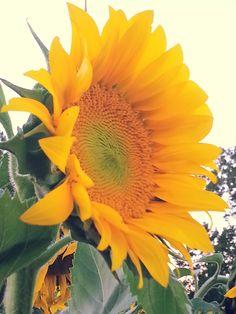 Sunflower Field ❤   Lawrence, Kansas ❤