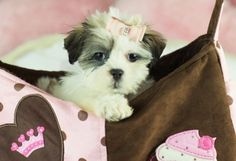 shih tzu maltese Puppy For Sale - Teacup Puppies Store