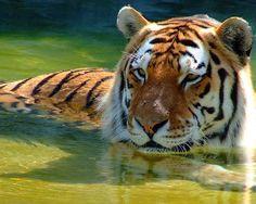 Tiger by PrimalOrB by alltiger