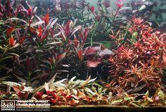 """Dragons' Sunset"" - by Marie-Sophie Germain - www.danish-style-aquarium.com"