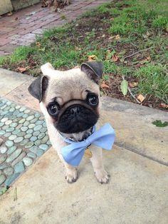 Adorable baby pug gentleman