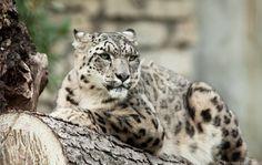 Snow Leopard by Leonardo Basana, via 500px