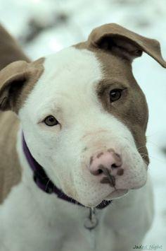 American Pit Bull Terrier Puppy Dogs #Pitbull #Pitbulls