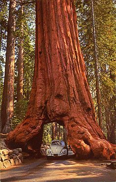 Giant Sequoia Tunnel, California. We drove through this on a family vacation…