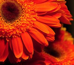 Orange Gerbera Daisies by psuhockeychick @Flickr