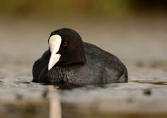 Coot | by Alex_Appleby