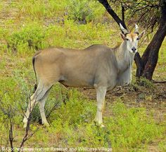 Did you know ? The eland is the largest living antelope. Dominant males are solitary and assess each other's strength by locking horns, trying to throw the opponent to the ground. The strongest males make a loud clicking sound that can . . . for more interesting facts visit us on Facebook: https://www.facebook.com/pages/GocheGanas-Private-Nature-Reserve-Wellness-Village/417165918352146 . . . #africa #namibia #windhoek #safari #nature #wellness #fitness #untamed #wilderness #wildlife…