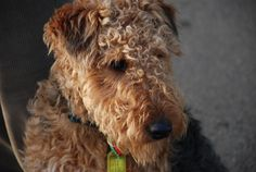 images of terriers breeds | Welsh terrier