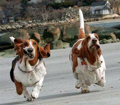 bassett hounds running...
