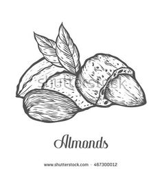 Find Almond Nut Seed Vector Isolated On stock images in HD and millions of other royalty-free stock photos, illustrations and vectors in the Shutterstock collection. Almond Seed, Almond Nut, Almond Milk, Illustrations, Line Patterns, Art Drawings Sketches, Line Drawing, Art Tutorials, Line Art
