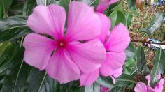 Vinca flowers in Itaipava. RJ.Brazil