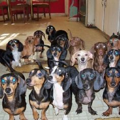 A passel of Dachshunds rescued from a hoarder.