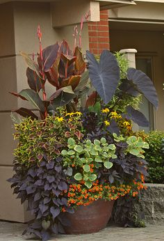 Tropicanna Black cannas in container garden by Todd Holloway by tesselaarusa, via Flickr