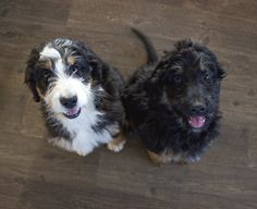 Michigan breeder of the most beautiful bernedoodle puppies! The world's best hypoallergenic, nonshedding family puppies. Bernese Mountain, Mountain Dogs, Bernedoodle Puppy, Puppy Love, Fur Babies, Dogs And Puppies, Dog Lovers, Doodles, Pets