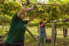 Harvesting Albariño grapes on the traditional trellises on which they are grown during the 2015 harvest at Lagar de Candes, one of the bodegas of the Asociación de Bodegas Artesanas, Meaño (Pontevedra), Galicia. Photo courtesy of Lagar de Candes, Meaño, Pontevedra, Galicia. — with Albariño Lagar de Candes at Meaño, Pontevedra, Galicia.