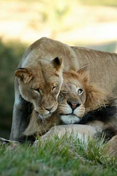 They're more of the snuggling type. Which Lion Couple Is Cuter: M'bari And Etosha Or Izu And Oshana? Gato Animal, Mundo Animal, Beautiful Creatures, Animals Beautiful, Lion Couple, Animals And Pets, Cute Animals, Gato Grande, Lion And Lioness