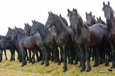 Friesian yearling colts - Annie Damhof