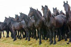 Friesian yearling colts - Annie Damhof