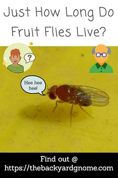 Some might think fruit flies never die. Fair enough, but they are not immortal. Read our guide to find out more! How To Get Rid, How To Find Out, Fly Live, Fruit Flies, Fly Traps, Gone For Good