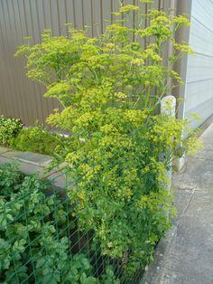 Pastinaak met gele bloemen, om zaden te oogsten.
