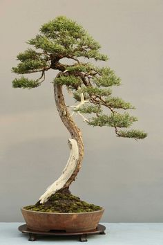 Bonsai Pine Bonsai, Juniper Bonsai, Bonsai Art, Bonsai Plants, Bonsai Garden, Garden Trees, Trees To Plant, Garden Art, Ikebana