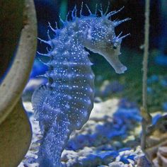 anyone know this sea horse?