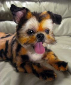 66 best dog grooming images on pinterest cat cats and cute dogs dyeing dogs i love it hes a tiny tiger solutioingenieria Image collections