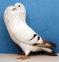 Czech Ice Pouter Pigeon