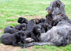 Bainbridge Irish Wolfhounds