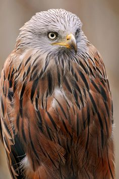 Standing red kite by Tambako the Jaguar, via Flickr