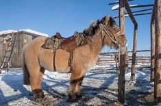 """A Yakutian horse (9762345674)"" by Maarten Takens from Germany - A Yakutian horse. Licensed under CC BY-SA 2.0 via Commons -"