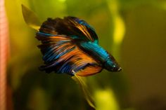 Betta fish are often considered to be among the heartiest sort of fish one can purchase, but great betta fish care is essential to a long and happy life. Betta Fish Types, Betta Fish Care, Betta Aquarium, Beta Fish, One Fish, Colorful Fish, Tropical Fish, Tropical Aquarium, Aquariums
