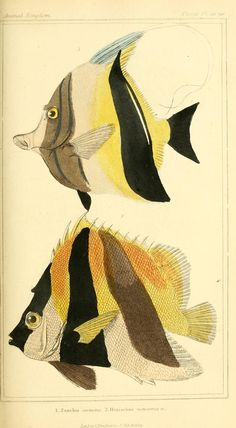 Pisces. The animal kingdom, arranged according to its organization, serving as a foundation for the natural history of animals v.2 plates  London :G. Henderson,1834-1837  Biodiversitylibrary. Biodivlibrary. BHL. Biodiversity Heritage Library