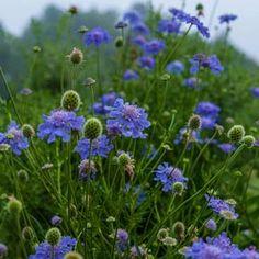 Pincushion Flower, Scabiosa Columbaria
