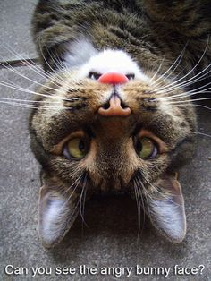 Can you see the angry bunny face? Hint:   The cat's tongue is his nose.
