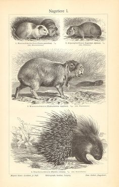 1905 Original Antique Engraving of Rodents by CabinetOfTreasures