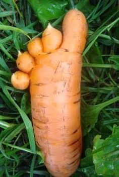 10 funny pictures of carrots Weird Fruit, Funny Fruit, Strange Fruit, Weird Plants, Unusual Plants, Fruit And Veg, Fruits And Veggies, Funny Vegetables, Beautiful Fruits