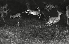 Trail Camera Photo - Deer at night.
