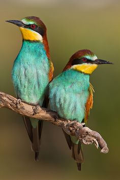 ~~Bee-eaters by Alejiga (Alejandro Jimenez)~~